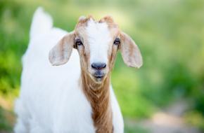 Geit geitenyoga wereldrecord
