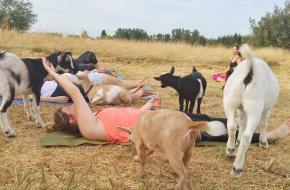 Goat Yoga © Lainey Morse